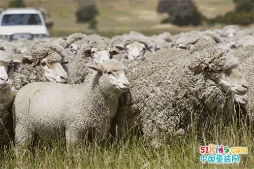 拉比心语:有一种温暖叫美丽诺羊毛!